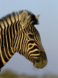 Head of a Zebra, South Africa, Africa Photographic Print by Steve & Ann Toon