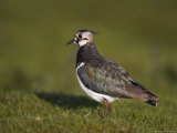 Lapwing, Vanellus Vanellus, Teesdale, County Durham, England, United Kingdom Photographic Print by Steve & Ann Toon