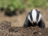 Badger Cub, Meles Meles, Captive, United Kingdom Photographic Print by Steve & Ann Toon