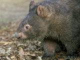 Captive Common Wombat (Vombatus Ursinus), David Fleays Santuary, Queensland, Australia Photographic Print by Steve & Ann Toon