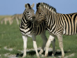 Burchell's (Plains) Zebra (Equus Burchelli), Etosha National Park, Namibia, Africa Photographic Print by Steve & Ann Toon