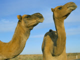 Arabian Camels (Camelus Dromedarius), Feral in Outback, New South Wales, Australia Photographic Print by Steve &amp; Ann Toon