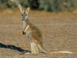 Red Kangaroo (Macropus Rufus), Mootwingee National Park, New South Wales, Australia Photographic Print by Steve & Ann Toon