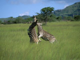 Burchell's Zebra (Equus Burchelli) Fighting, Itala Game Reserve, South Africa Photographic Print by Steve & Ann Toon
