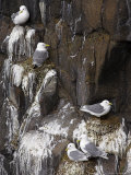 Kittiwakes on Nest, Larus Tridactyla, Isle of May, Fife, Scotland, United Kingdom Photographie par Steve & Ann Toon