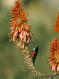 Greater Doublecollared Sunbird (Nectarinia Afra), Giant's Castle, South Africa, Africa Photographic Print by Steve & Ann Toon