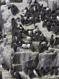 Guillemot Breeding Colony, Uria Aalge, Isle of May, Fife, Scotland, United Kingdom Photographic Print by Steve & Ann Toon