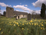 Wild Daffodils, Narcissus Pseudonarcissus, in St. Anthony's Churchyard, Cumbria Photographic Print by Steve & Ann Toon