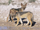 Young Blackbacked Jackals (Canis Mesomelas), Etosha National Park, Namibia, Africa Photographic Print by Steve & Ann Toon