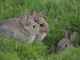 Young Rabbits (Oryctolagus Cuniculas), Outside Burrow, Teesdale, County Durham, England Photographic Print by Steve & Ann Toon