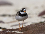 Ringed Plover, Charadrius Hiaticula, Applecross Peninsula, Wester Ross, Scotland Photographic Print by Steve & Ann Toon