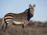 Cape Mountain Zebra, Equus Zebra Zebra, Mountain Zebra National Park, Eastern Cape, South Africa Photographic Print by Steve &amp; Ann Toon