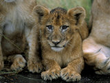 Two to Three Month Old Lion Cub (Panthera Leo), Kruger National Park, South Africa, Africa Photographic Print by Steve & Ann Toon