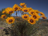 Gazanias in Namaqua National Park, Namaqualand, Northern Cape, South Africa, Africa Photographic Print by Steve & Ann Toon