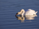 Mute Swan, Caerlaverock Wildfowl & Wetland Trust Reserve, Dumfries & Galloway, Scotland Photographic Print by Steve & Ann Toon