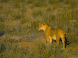 Lioness (Panthera Leo), Kgalagadi Transfrontier Park, South Africa, Africa Photographic Print by Steve & Ann Toon