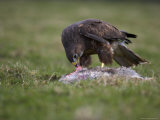 Buzzard Eating Rabbit, Buteo Buteo, Captive, United Kingdom Photographie par Steve & Ann Toon