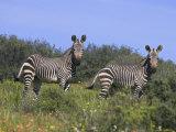 Cape Mountain Zebra, Equus Zebra Zebra, in Spring Flowers in Bushman's Kloof Reserve, Western Cape Photographic Print by Steve & Ann Toon