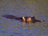 Common Hippopotamus (Hippopotamus Amphibius), Kruger National Park, South Africa, Africa Photographic Print by Steve &amp; Ann Toon