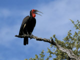 Ground Hornbill (Bucorvus Leadbeateri), Kruger National Park, South Africa, Africa Photographic Print by Steve & Ann Toon