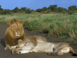 Lion and Lioness (Panthera Leo), Kruger National Park, South Africa, Africa Photographic Print by Steve & Ann Toon