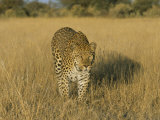 Male Leopard (Panthera Pardus) in Captivity, Namibia, Africa Photographic Print by Steve & Ann Toon