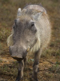 Warthog, Phacochoerus Aethiopicus, Addo Elephant National Park, South Africa, Africa Photographic Print by Steve & Ann Toon