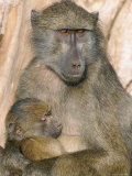 Chacma Baboon (Papio Cynocephalus) Nursing Infant, Kruger National Park, South Africa, Africa Photographic Print by Steve & Ann Toon