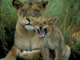 Two to Three Month Old Lion Cub with Lioness (Panthera Leo), Kruger National Park, South Africa Photographic Print by Steve & Ann Toon
