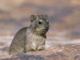 Rock Hyrax (Dassie) (Procavia Johnstonia), Augrables National Park, South Africa, Africa Photographic Print by Steve & Ann Toon