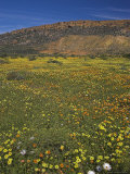 Annual Spring Wildlflower Carpets, Biedouw Valley, Western Cape, South Africa, Africa Photographic Print by Steve & Ann Toon