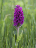 Northern Marsh Orchid (Dactylorhiza Purpurella), Craignure, Mull, Inner Hebrides, Scotland Photographic Print by Steve & Ann Toon