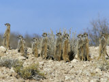 Meerkats (Suricates) (Suricata Suricatta), Kalahari Gemsbok Park, South Africa, Africa Photographie par Steve &amp; Ann Toon