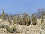 Meerkats (Suricates) (Suricata Suricatta), Kalahari Gemsbok Park, South Africa, Africa Fotografisk tryk af Steve & Ann Toon