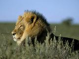 Lion (Panthera Leo), Kalahari Gemsbok Park, South Africa, Africa Fotografie-Druck von Steve & Ann Toon