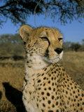 Cheetah (Acinonyx Jubatus) in Captivity, Namibia, Africa Fotografisk trykk av Steve & Ann Toon