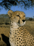 Cheetah (Acinonyx Jubatus) in Captivity, Namibia, Africa Impressão fotográfica por Steve & Ann Toon