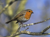 Robin Perched on a Tree Branch at Leighton Moss Rspb Nature Reserve, Lancashire Photographic Print by Steve & Ann Toon