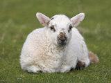 Spring Lamb, Scotland, United Kingdom Photographic Print by Steve & Ann Toon