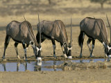 Gemsbok (Oryx) (Oryx Gazella) Drinking at Waterhole, Kalahari Gemsbok Park, South Africa, Africa Lmina fotogrfica por Steve & Ann Toon