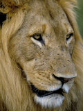 Male Lion (Panthero Leo), Kruger National Park, South Africa, Africa Photographic Print by Steve & Ann Toon