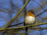 Robin, on Twig at Martin Mere Wildfowl and Wetlands Trust Reserve in Lancashire, UK Photographic Print by Steve & Ann Toon