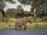 Elephant, Loxodonta Africana, with Waterbuck, at Water in Kruger National Park Photographic Print by Steve & Ann Toon