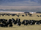 Yaks on Tibetan Pastures at 4000M, Sichuan Province, China Photographie par Occidor Ltd