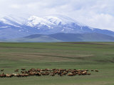Flock of Sheep, Northeast Coast of Lake Van, Van Area, Anatolia, Turkey, Eurasia Photographic Print by Adam Woolfitt