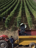 Harvesting Grapes, St. Emilion Area, Aquitaine, France Photographic Print by Adam Woolfitt