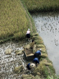 Harvesteing Rice, South Guizhou, China Photographic Print by Occidor Ltd