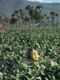 Crop Spraying in Field of Tobacco, Santiago, Dominican Republic Photographic Print by Adam Woolfitt
