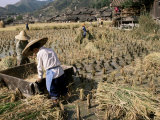 Rice Being Cut and Threshed, Guizhou Province, China Photographic Print by  Occidor Ltd