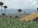 Field of Tobacco, Santiago, Dominican Republic, West Indies, Caribbean, Central America Fotografie-Druck von Adam Woolfitt